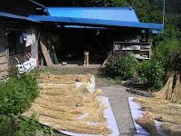 脱穀①猛犬クマが猿から守ってくれた稲穂