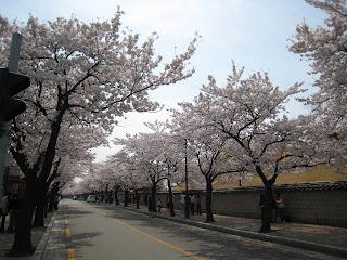 Ausflug: Kirschblüte in Gyeongju