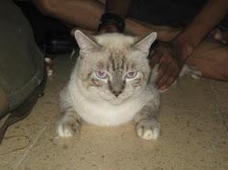 Cat Maja