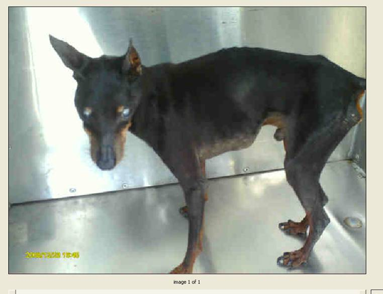 Miniature Pinscher Chihuahua Mix Images & Pictures - Findpik