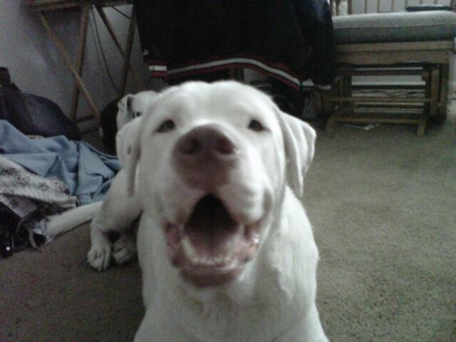 Deaf Animals Tampa Bay Fl Labbulldog Mix Needs Rescue By Friday