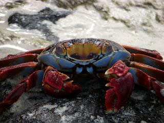 galapagos islands sally crab