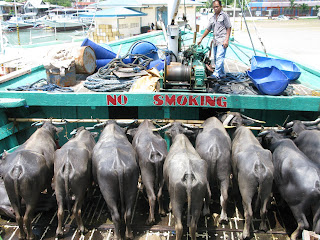 water buffalo on cargo ferry from el nido to coron town