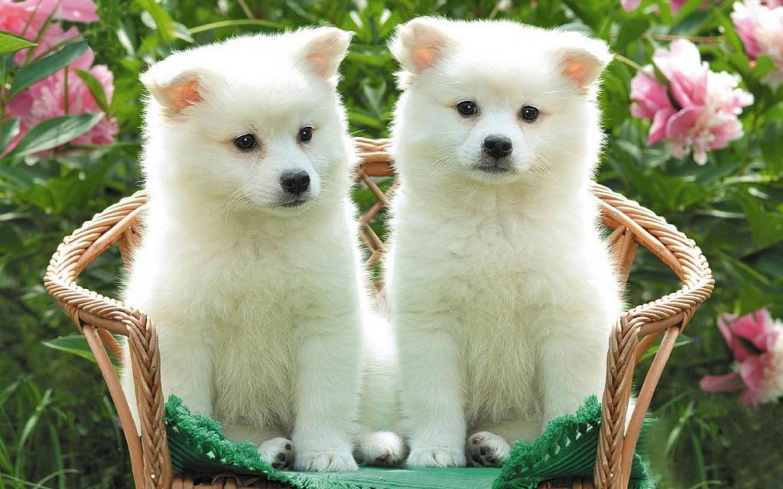 Royal Canin Labrador Retriever Adult сухой корм для собак породы лабрадор