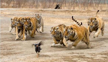 sete tigres correndo atras de uma galinha