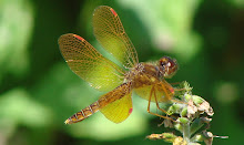 Amazing Dragonfly Photo Taken By My Hubby