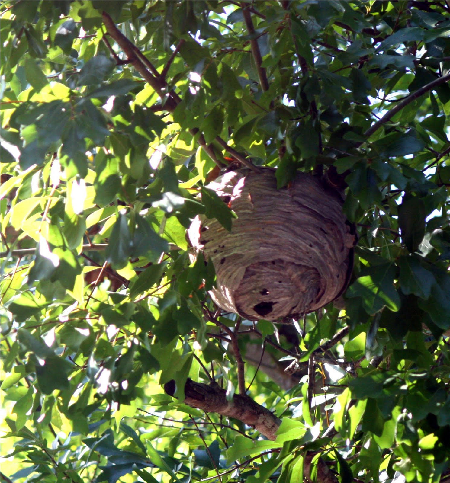 DanO's Garden: Paper Wasps are good guys for the most part!