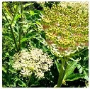 Angelica herb image