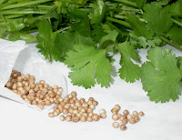Growing coriander picture