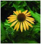 Echinacea herb image