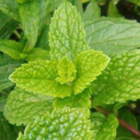 Peppermint plant picture