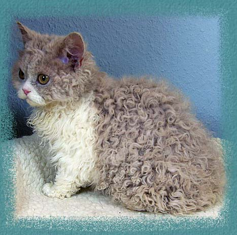Where Can I Buy A Curly Haired Cat