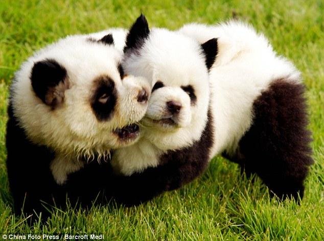Perros Chow Chow pintados como osos panda - Taringa!