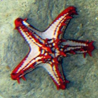 Red Pentaceraster Sea Star