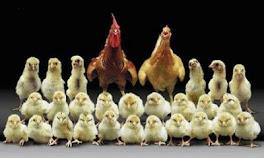 Anok Beranok Keluarga Ayam
