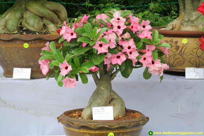 Perfect Office Plants Bonsai Adenium Plant Tree Of Life Jaipur Office Home  Room