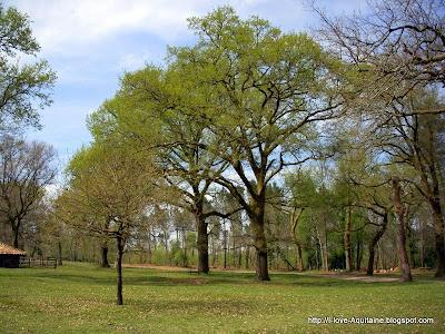 Oak tree in Airial