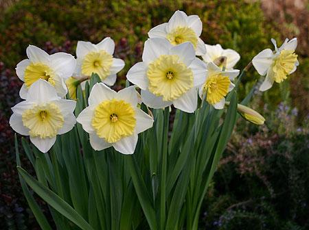 Planting Design Narcissus Ice Follies