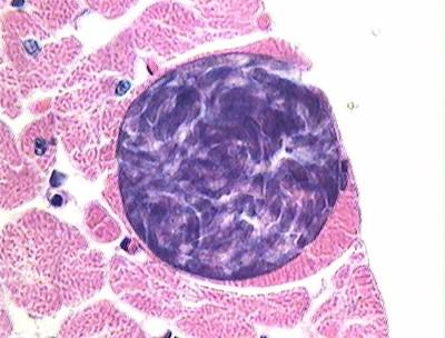 phylum sporozoans