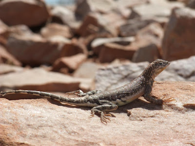 arizona lizzard on a rock, desert