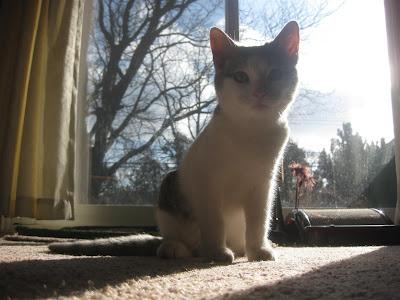 kitten, barn cat, charlie, wild cat