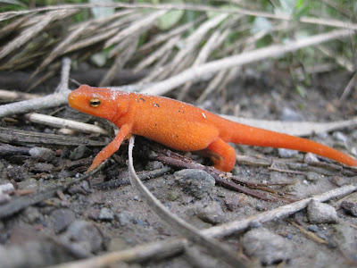 orange salamander, what is it, pennsylvania, cold weather, northern ussalamander