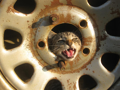 cat in a tire, stray cat, hiding, car