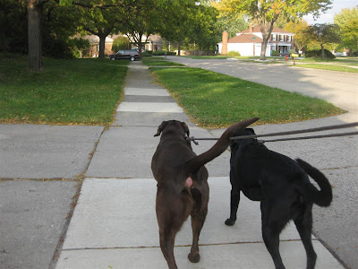 taking the dogs for a walk, labs