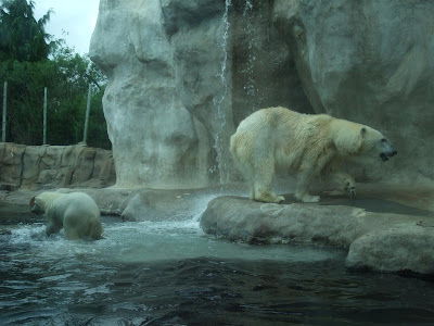 toledo zoo polar bears playing in the water