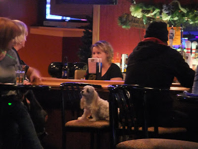 dog sitting alone at a bar, little white dog