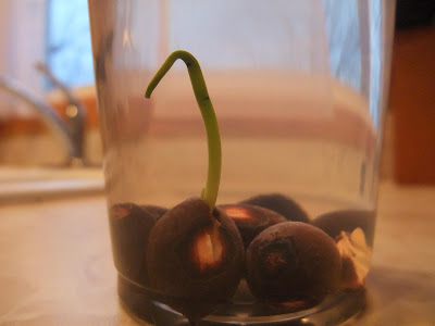 how to grow a lotus in a bowl of water