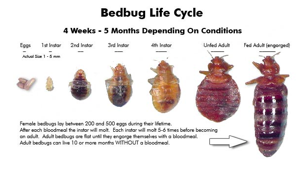 Do Bed Bugs Bite Do Bed Bugs Bite You During The Day