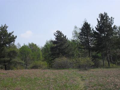 Přírodní rezervace Kamenný vrch: Koniklece