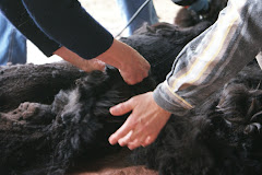 Alpaca shearing involves working together