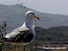 Gabbiano