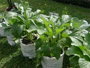 salah satu tanaman sayur
