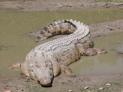 800px-SaltwaterCrocodile%2528%2527Maximo