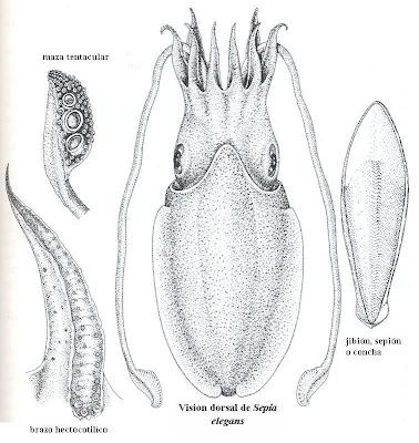 Los cefalópodos: mayo 2009