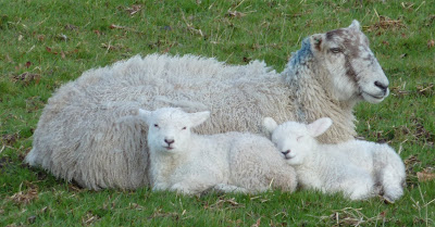 Spring lambs on the Whitewell Estate
