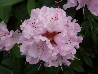 Fresh Rhodedendron Bloom at Myerscough College Gardens