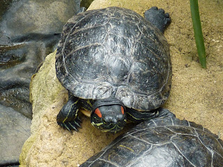 Terrapins in the Tropical Zone at Myerscough College Plant World