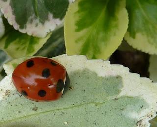 A glossy ladybird