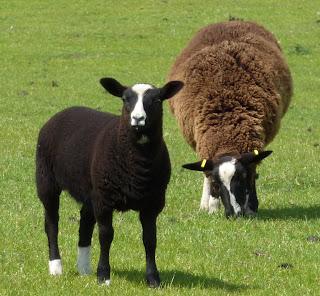 Big lamb/ewe