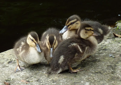 Ducklings at Calder Vale Mill Pond