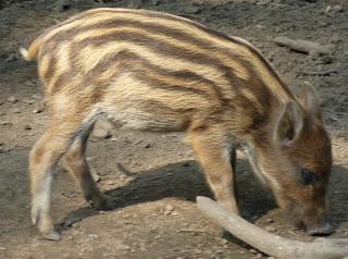 Stripy - Young Wild Boar