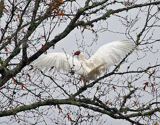 white vulture by Anna de Guzman Lewis