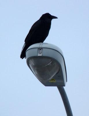 raven on lightpost