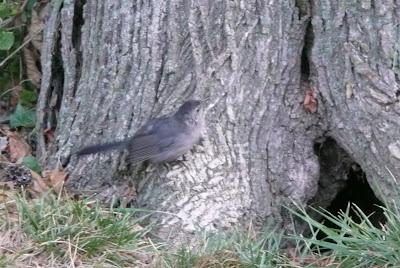 catbird on tree root