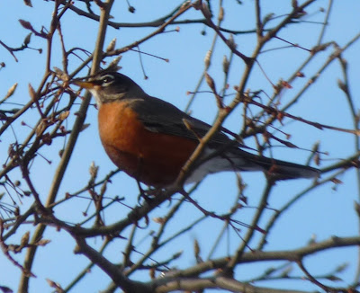 robin in the pear