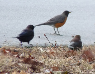 robins and blackbirds under the pear